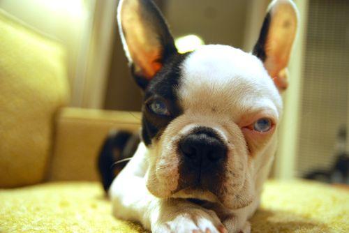 Louie_puppy